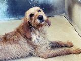 Leider in Frankreich gestorben MOODY – Griffon-Fauve-mix aus Couzeix ( kleiner Hund mit GrossesHerz)