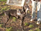 REBEL – Seriöser Labrador-Rüde. THPoitiers